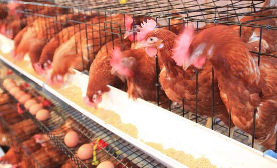 chicken-battery-farming