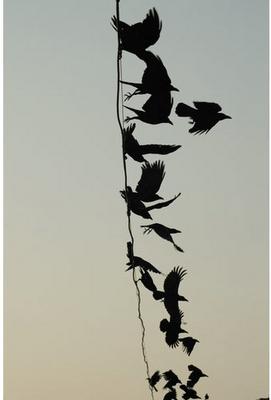 tanzanian-crows