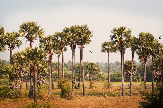 palm_tamil_nadu