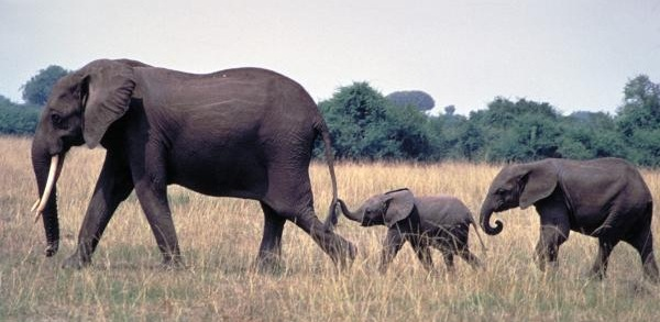 1-elephant-family-carl-purcell