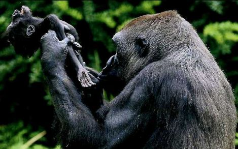 b-315034-gorilla_looking_to_him_dead_baby_cry_cry