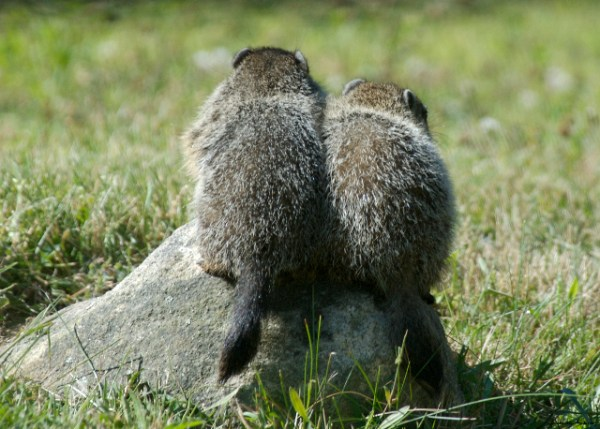 wodchuck-siblings-pepperell-ma_dsc0038-2007-06-30