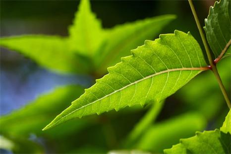 tree-neem