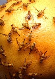 organic-fruit-fly