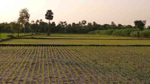 annapurna-rice