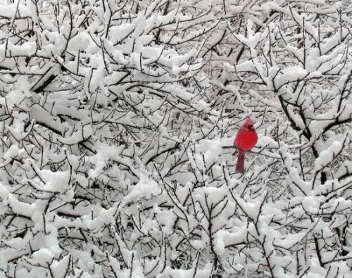 red-bird
