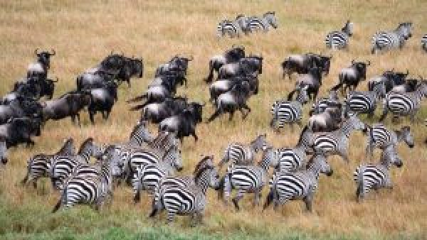 serengeti_wildebeest_zebra