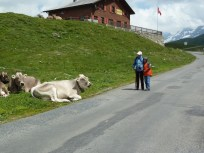 Swiss cows everywhere and up close in Switzerland