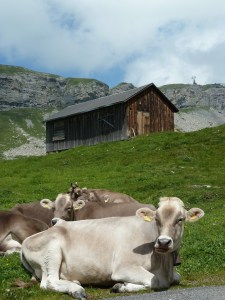 Photo of a Cow in Switzerland