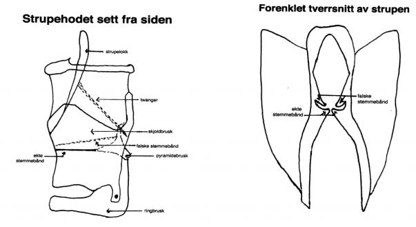 strupehode, tverrsnitt, larynx
