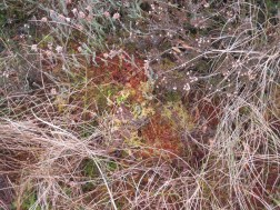 Sphagnum (Bowness)
