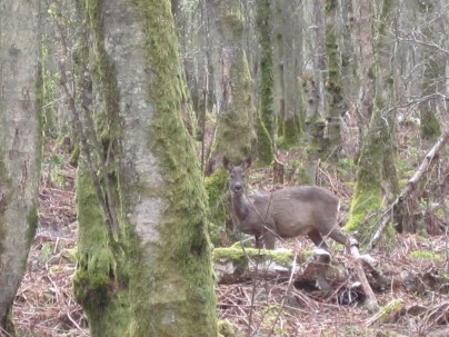 A roe-deer hind watches us