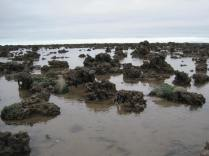 Honeycomb-worm reefs and mounds