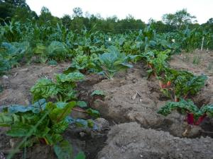 Organic produce in the field at Liberation Farms