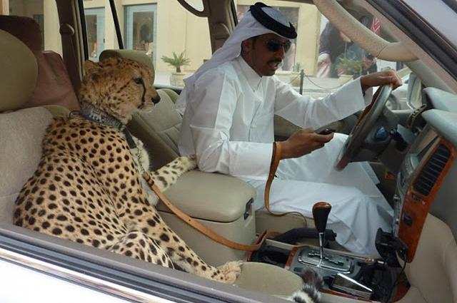 cheetah smaggling