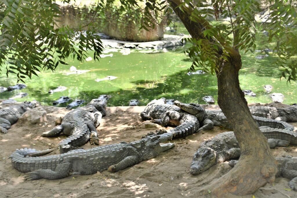Crocodile Park, Chennai