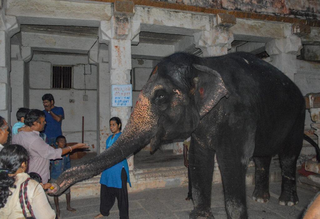Laxmi, the Elephant at Virupaksha Temple, Hampi