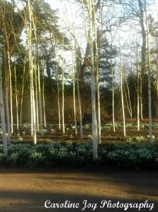 Silver Birch Trees Dunham Massey