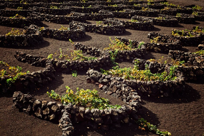 Lanzarote Vineyard