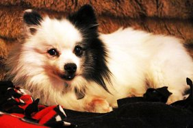 Cyclone (Pomeranian, National Mill Dog Rescue)