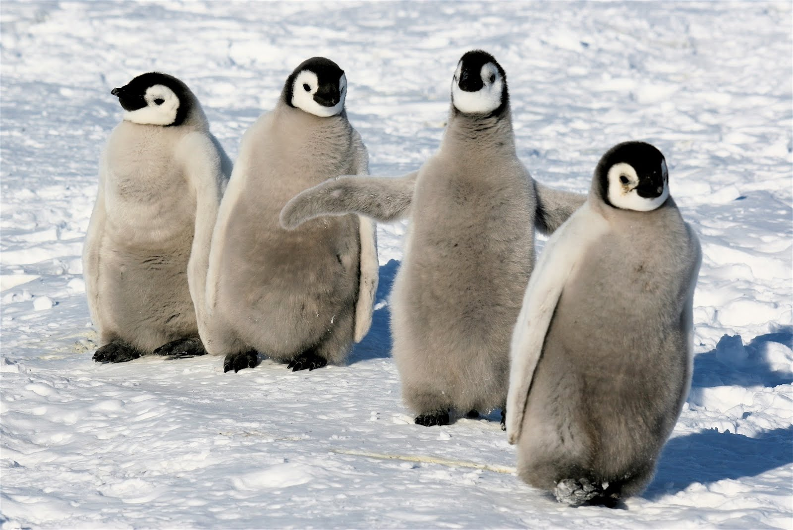 12 Facts About Emperor Penguins