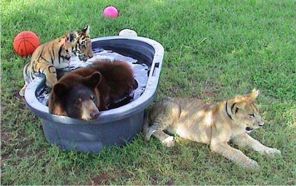 leão tigre urso amigos (4)