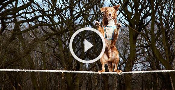 Você acha impossível um cão se equilibrar na corda bamba? Veja isso!