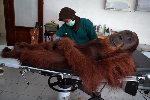 """TOPSHOTS 20-INDONESIA-ENVIRONMENT-CONSERVATION-SPECIES-ORANGUTAN"""