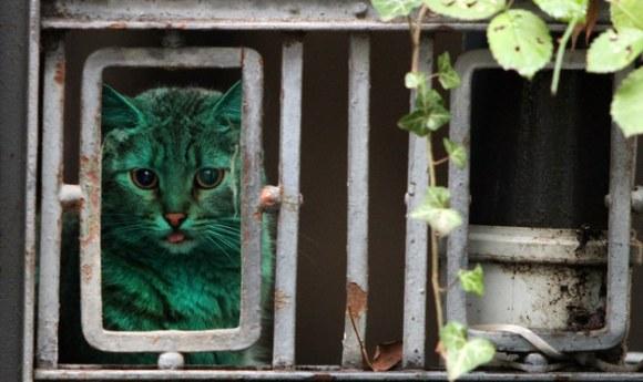 Gato Verde da Bulgária 2