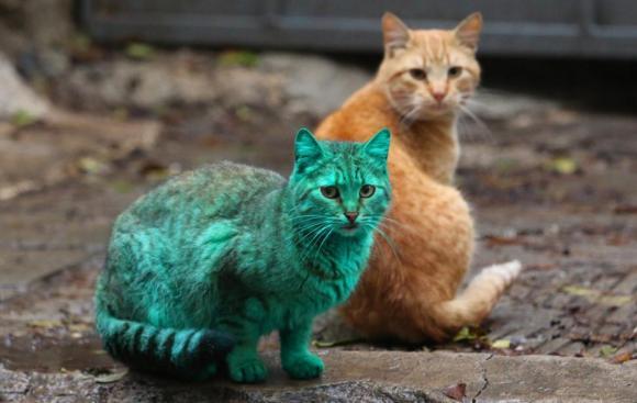 Gato Verde da Bulgária 8