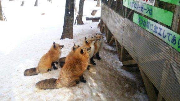 zao-fox-village-japan-22[1]