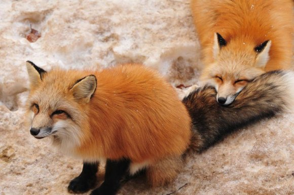 zao-fox-village-japan-26[1]