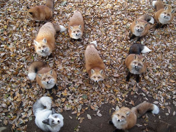 zao-fox-village-japan-34[1]
