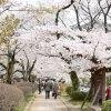 哲学の道の桜を楽しむおすすめのコース!【京都桜】