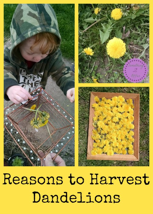 Reasons to harvest dandelions