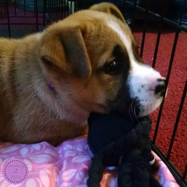 Bayley with black chew toy