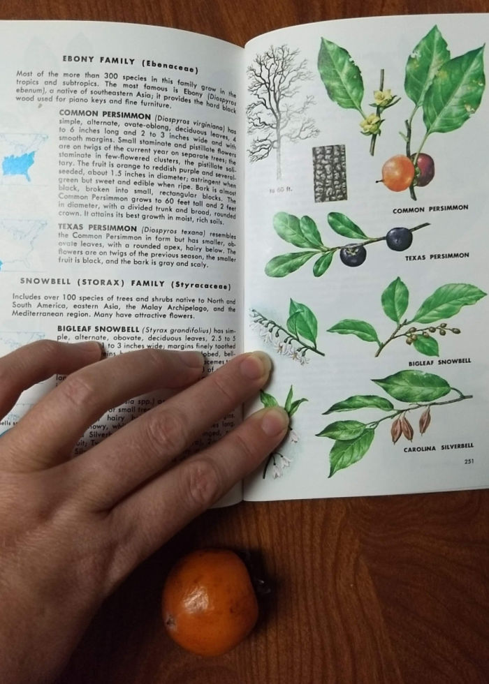 Common Persimmon fruit and book