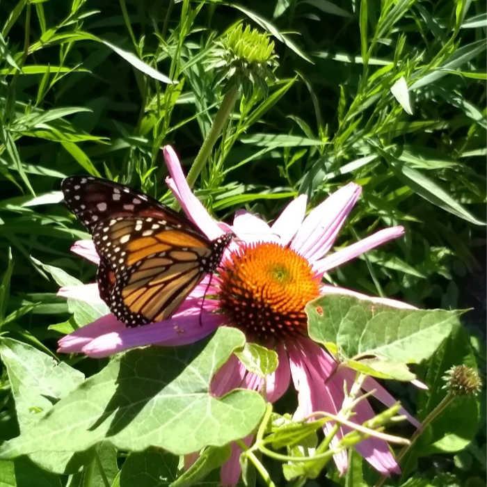Monarch on Coneflower