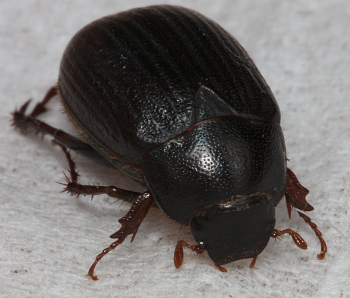 Small Black June Beetle | The Backyard Arthropod Project