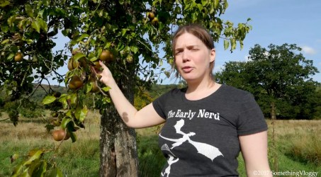 Pear Picking from a Very Old Pear Tree.