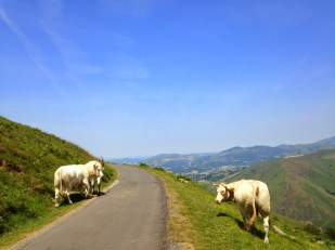 Just a little scary walking between three large cows…