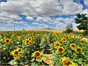 Sunflowers just outside San Nicolas del Camino, 2014 Camino Francés