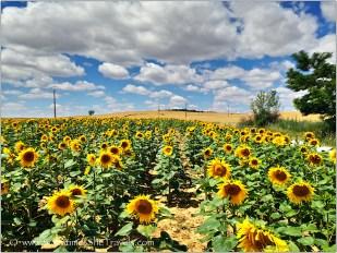 Sunflowers just outside San Nicolas del Camino, 2014 Camino Francés