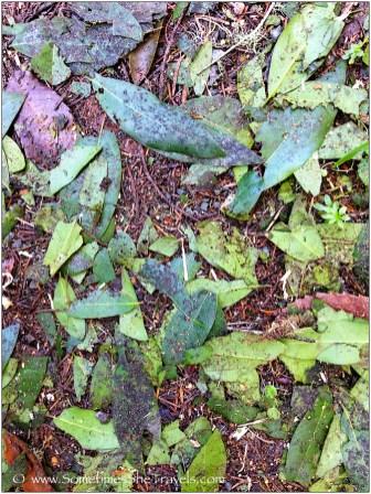 Crushed bay leaves everywhere; the trail smelled like spaghetti!