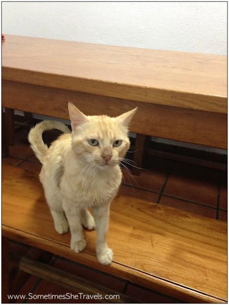 Scrawny cat begging for dinner at the albergue.