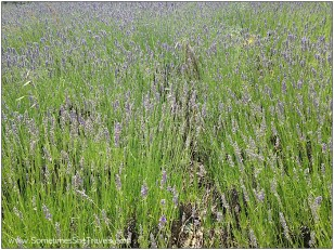 For some reason, I just had a strong memory of the conversation Olalla and I were having right before we saw all this lavender. She was asking me if I knew any Spanish singers or rock groups and she was very surprised when I hadn't heard of any of the ones she named.