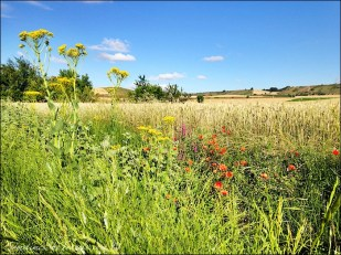 camino de santiago fields and wildflowers