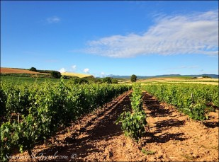caminoe de santiago vineyard