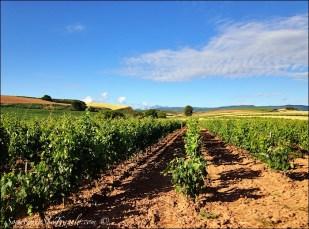 caminoe de santiago vineyard