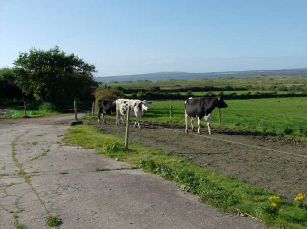 Beal Farm Cows, County Kerry